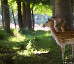 aug deer 7