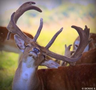 aug deer3